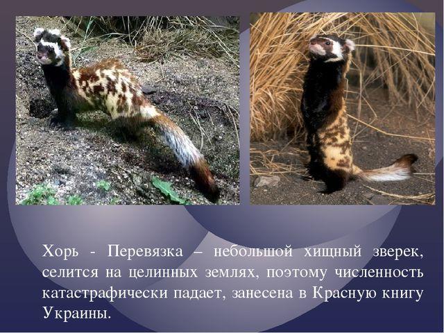 Хорь - Перевязка – небольшой хищный зверек, селится на целинных землях, поэто...