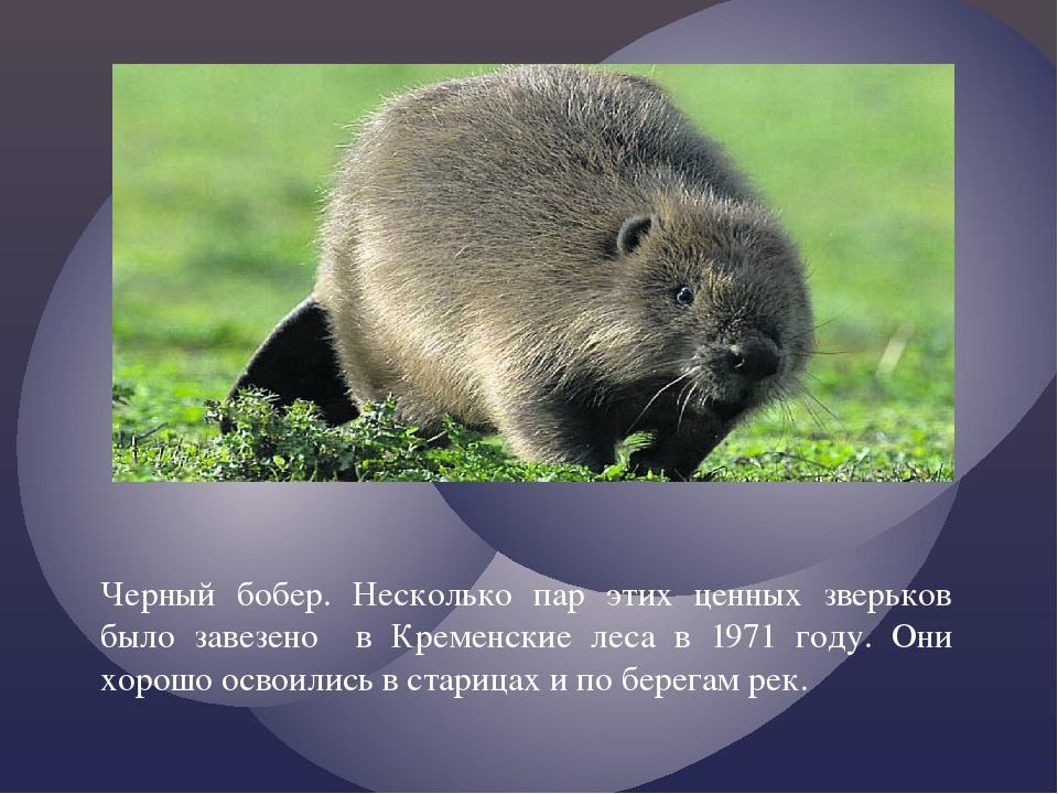 Черный бобер. Несколько пар этих ценных зверьков было завезено в Кременские л...