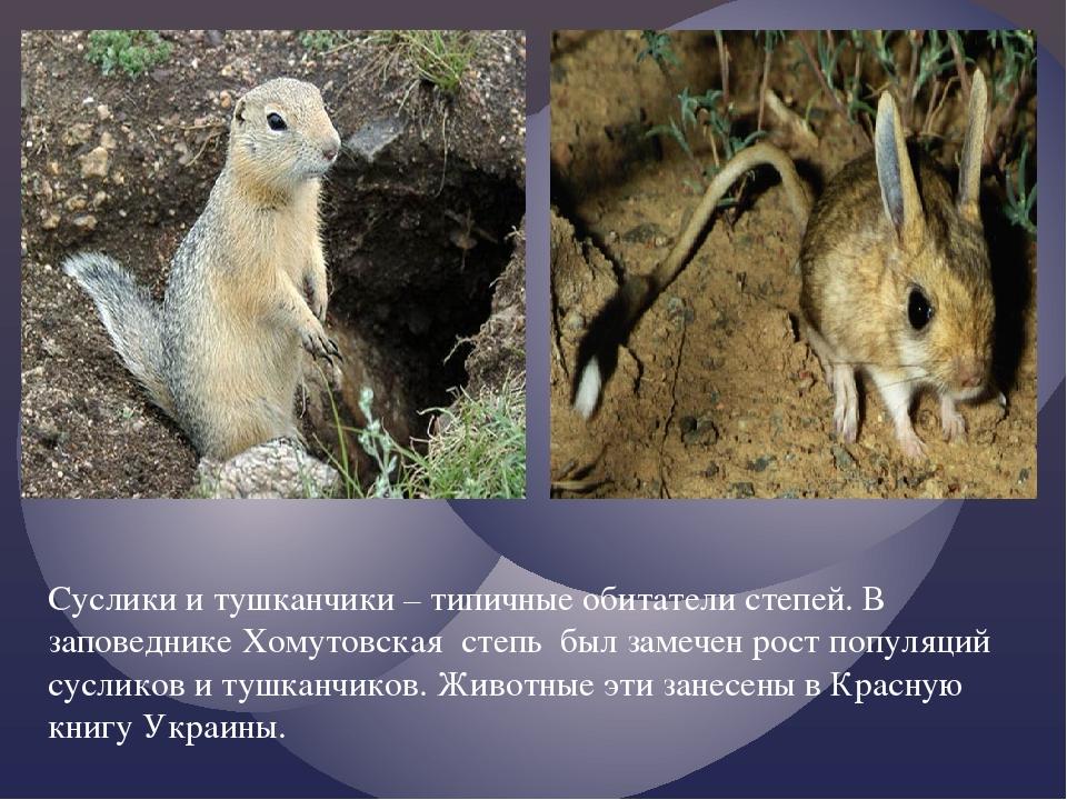 Суслики и тушканчики – типичные обитатели степей. В заповеднике Хомутовская с...