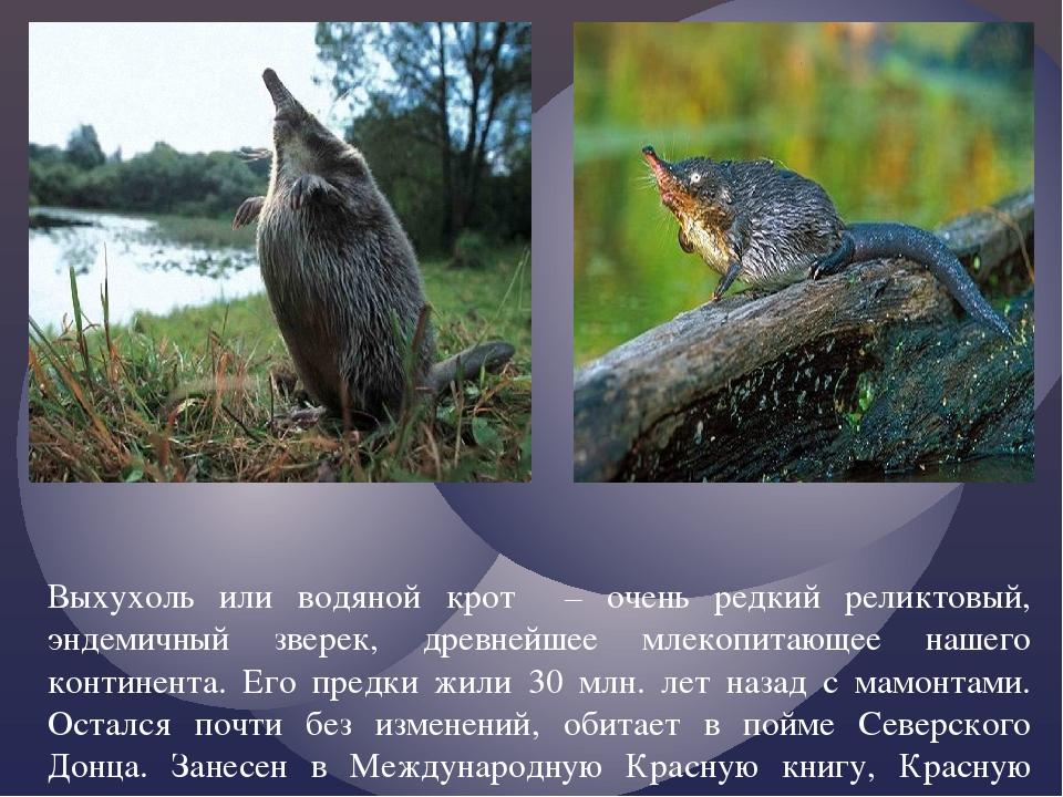 Выхухоль или водяной крот – очень редкий реликтовый, эндемичный зверек, древн...