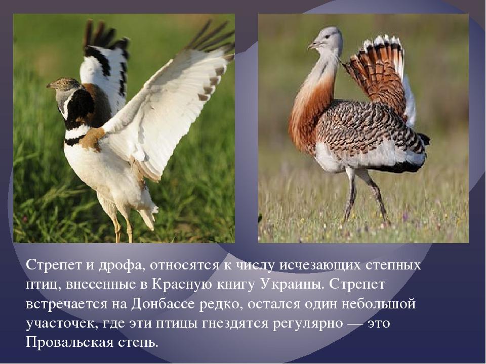 Стрепет и дрофа, относятся к числу исчезающих степных птиц, внесенные в Красн...