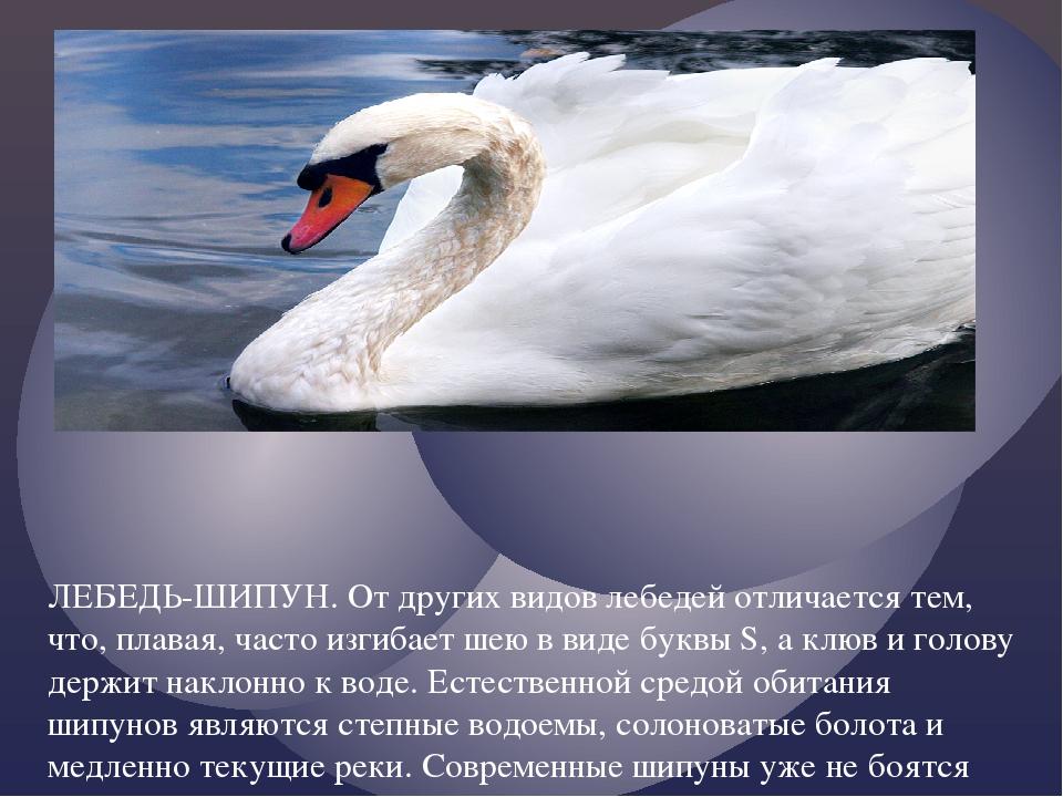 ЛЕБЕДЬ-ШИПУН. От других видов лебедей отличается тем, что, плавая, часто изги...