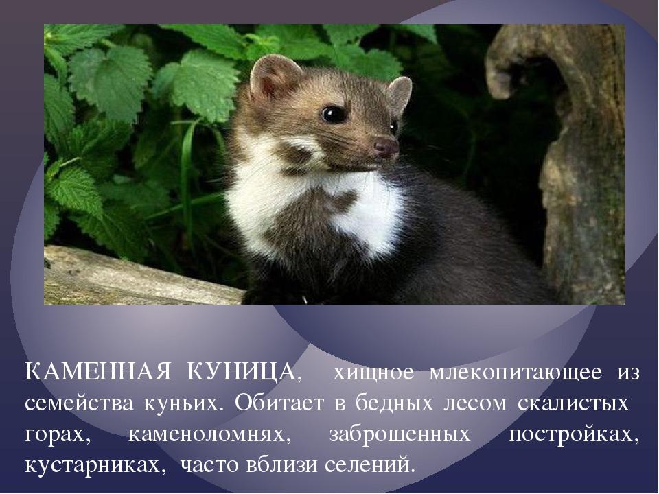 КАМЕННАЯ КУНИЦА, хищное млекопитающее из семейства куньих. Обитает в бедных л...