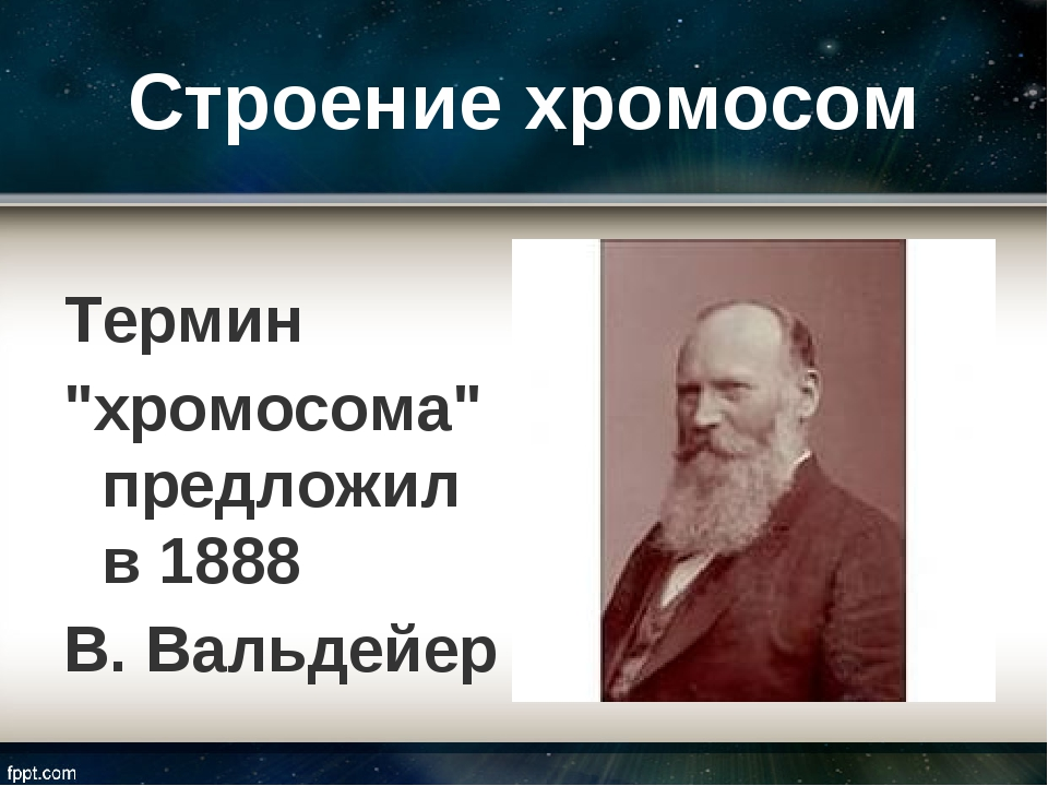 """Строение хромосом Термин """"хромосома"""" предложил в 1888 В. Вальдейер"""