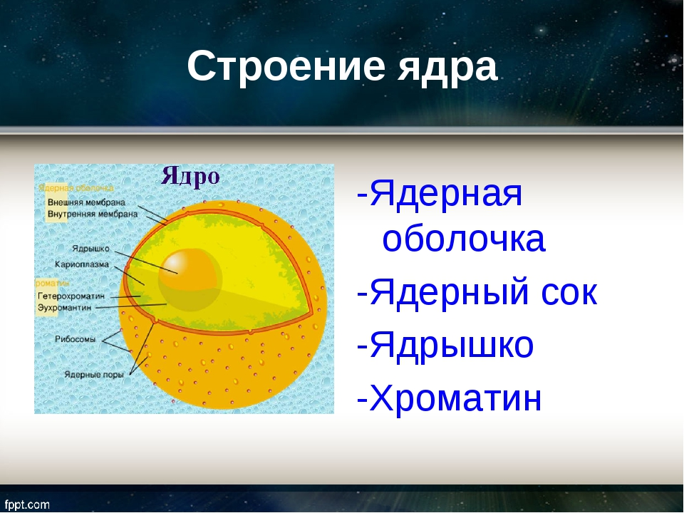 Строение ядра -Ядерная оболочка -Ядерный сок -Ядрышко -Хроматин