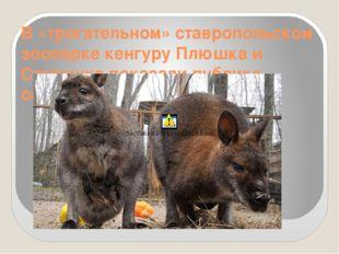 В «трогательном» ставропольском зоопарке кенгуру Плюшка и Степашка показали п