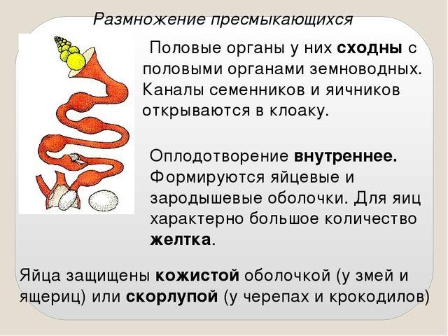Размножение пресмыкающихся Половые органы у них сходны с половыми органами зе...