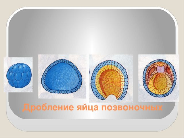 Дробление яйца позвоночных