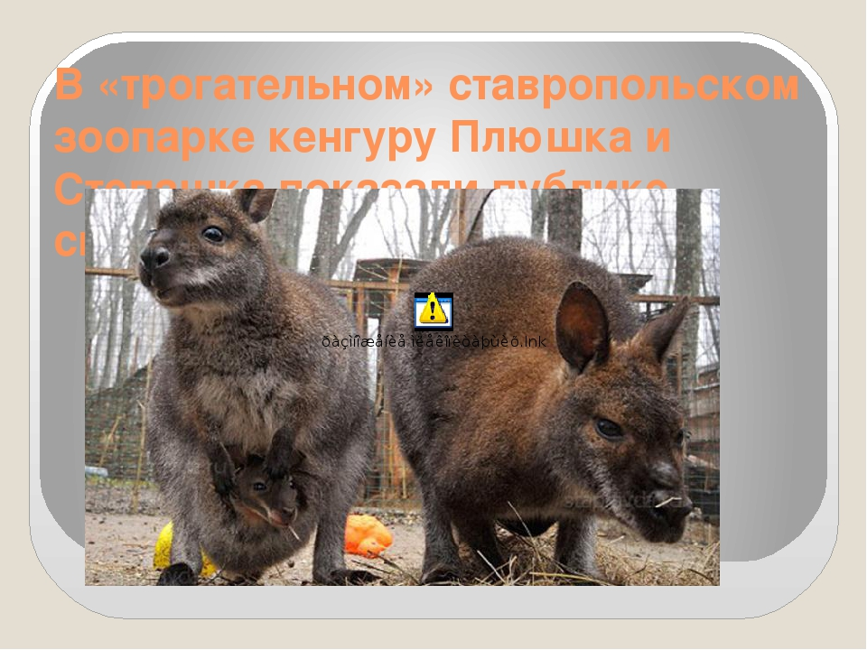 В «трогательном» ставропольском зоопарке кенгуру Плюшка и Степашка показали п...