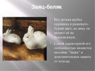 Заяц-беляк Его летняя шубка окрашена в рыжевато-бурый цвет, на зиму он меняе