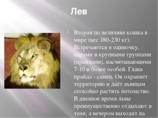 Лев Вторая по величине кошка в мире (вес 180-230 кг). Встречаются в одиночку,
