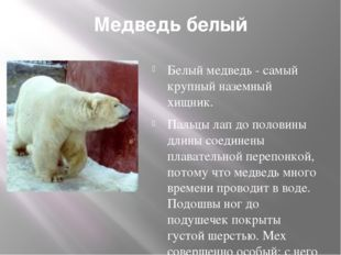 Медведь белый Белый медведь - самый крупный наземный хищник. Пальцы лап до п