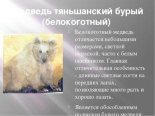 Медведь тяньшанский бурый (белокоготный) Белокоготный медведь отличается неб
