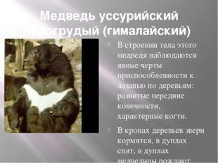 Медведь уссурийский белогрудый (гималайский) В строении тела этого медведя н