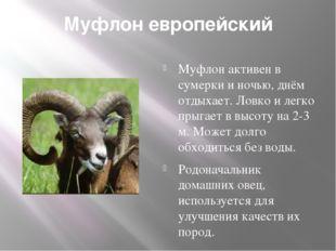 Муфлон европейский Муфлон активен в сумерки и ночью, днём отдыхает. Ловко и л