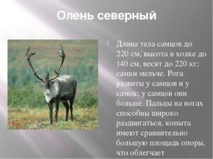 Олень северный Длина тела самцов до 220 см, высота в холке до 140 см, весят д