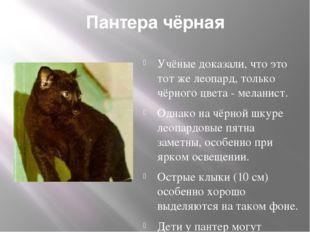 Пантера чёрная Учёные доказали, что это тот же леопард, только чёрного цвета