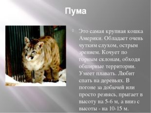 Пума Это самая крупная кошка Америки. Обладает очень чутким слухом, острым зр