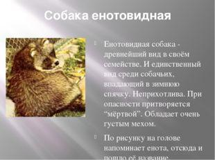 Собака енотовидная Енотовидная собака - древнейший вид в своём семействе. И е