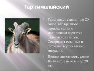 Тар гималайский Тары живут стадами до 20 голов, вне брачного периода самки с
