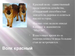 Волк красный Красный волк - единственный представитель семейства, обладающий