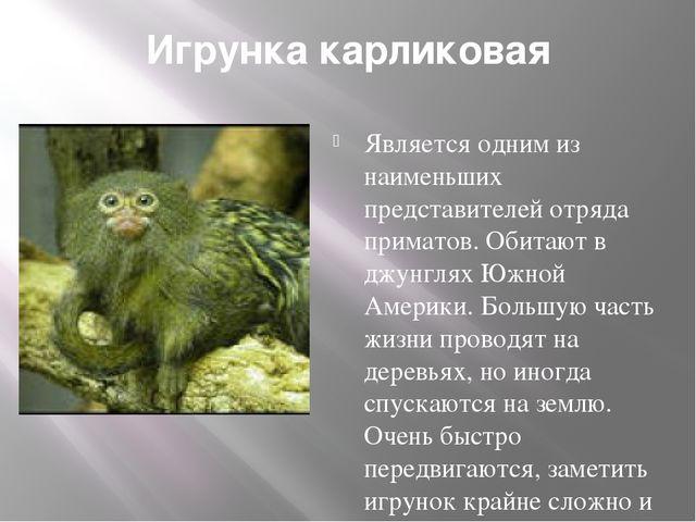 Игрунка карликовая Является одним из наименьших представителей отряда примато...