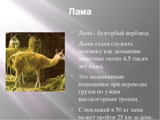 Лама Лама - безгорбый верблюд. Ламы стали служить человеку как домашние живот...