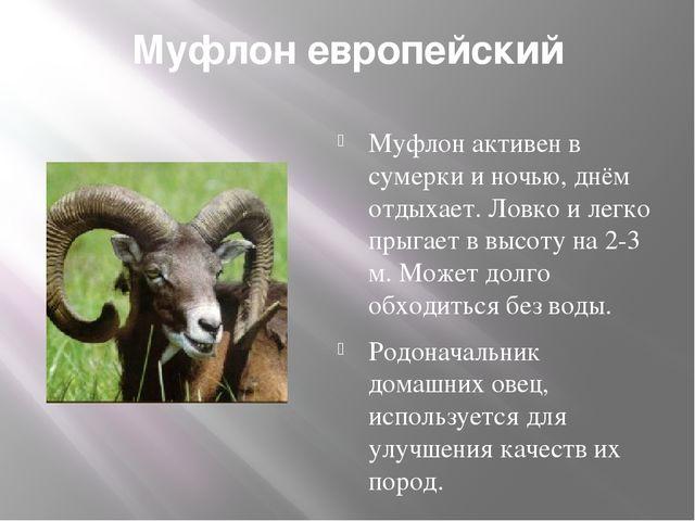Муфлон европейский Муфлон активен в сумерки и ночью, днём отдыхает. Ловко и л...