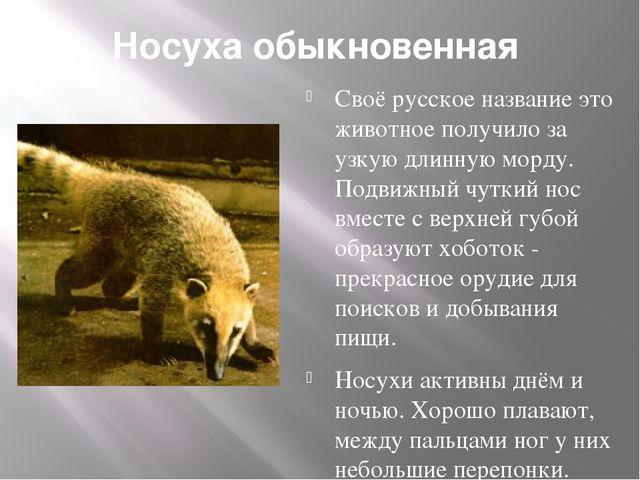 Носуха обыкновенная Своё русское название это животное получило за узкую дли...