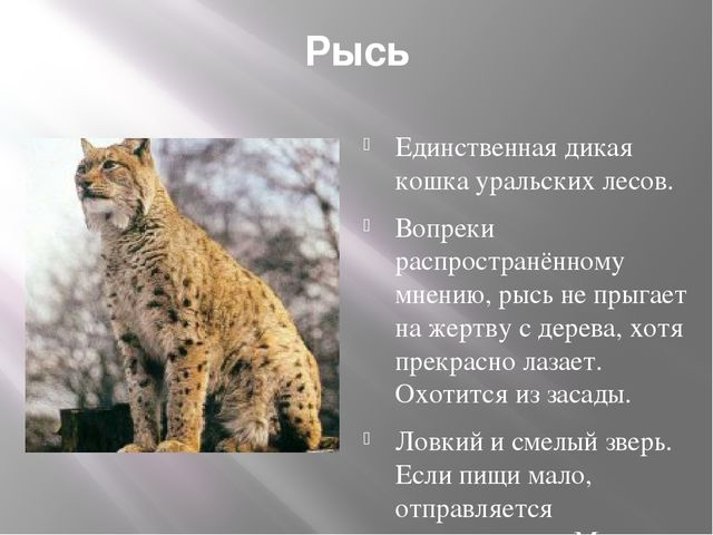 Рысь Единственная дикая кошка уральских лесов. Вопреки распространённому мнен...