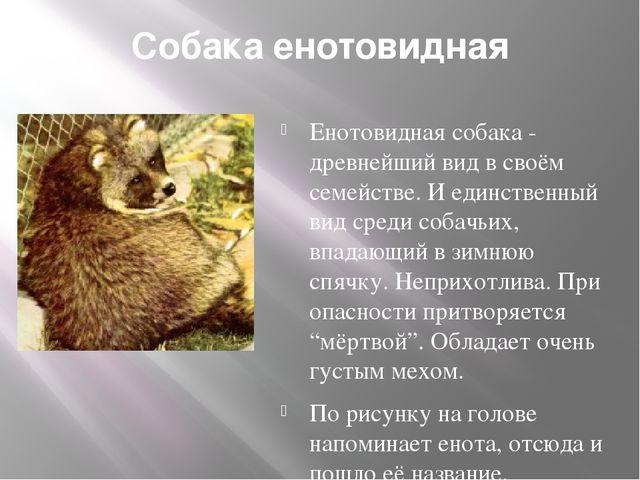 Собака енотовидная Енотовидная собака - древнейший вид в своём семействе. И е...