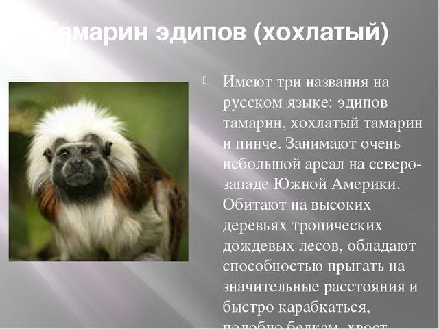 Тамарин эдипов (хохлатый) Имеют три названия на русском языке: эдипов тамари...