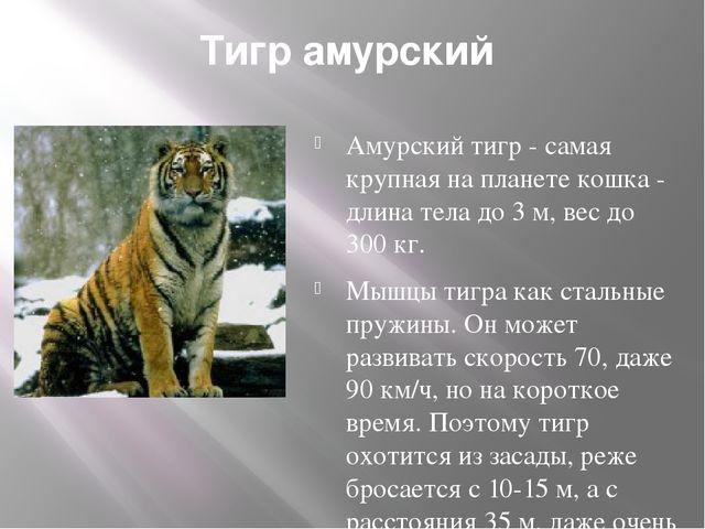 Тигр амурский Амурский тигр - самая крупная на планете кошка - длина тела до...