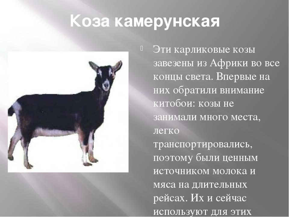 Коза камерунская Эти карликовые козы завезены из Африки во все концы света. В...