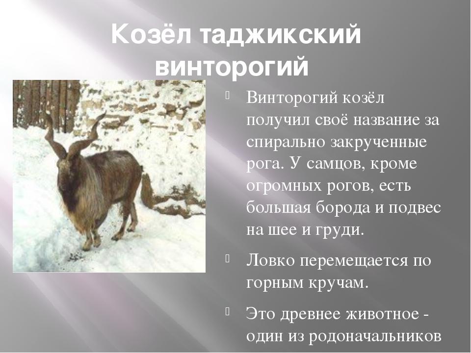 Козёл таджикский винторогий Винторогий козёл получил своё название за спирал...