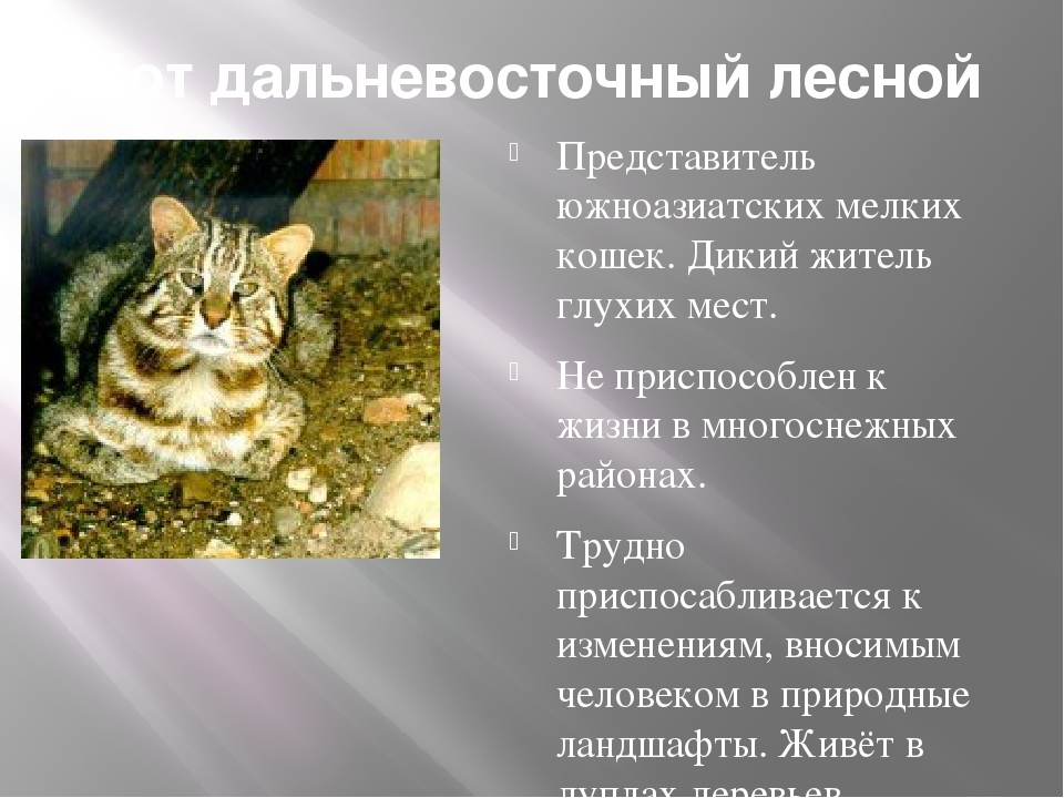 Кот дальневосточный лесной Представитель южноазиатских мелких кошек. Дикий жи...