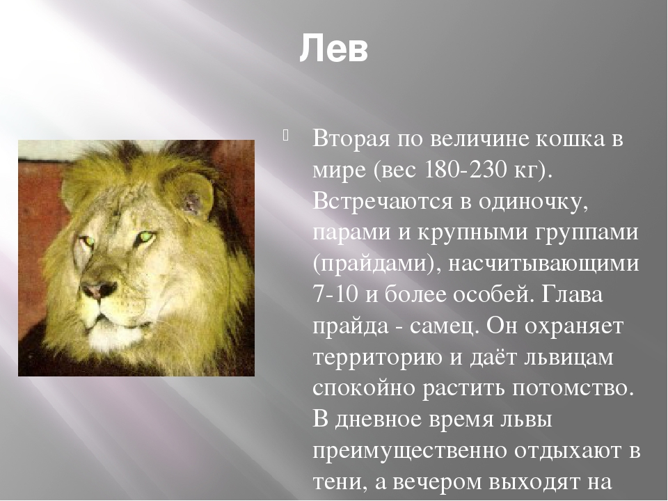 Лев Вторая по величине кошка в мире (вес 180-230 кг). Встречаются в одиночку,...