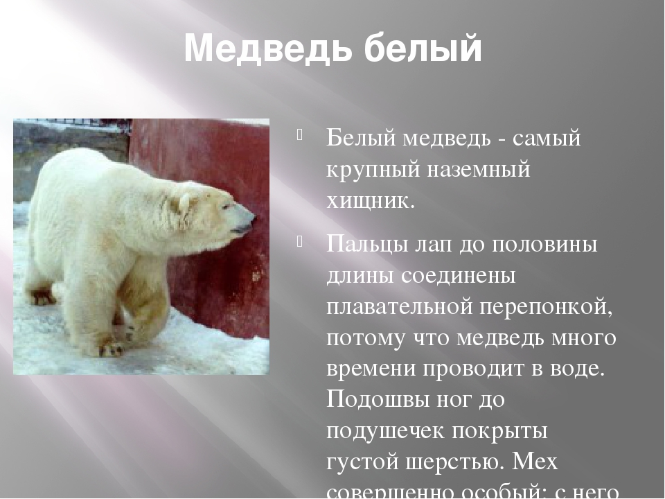 Медведь белый Белый медведь - самый крупный наземный хищник. Пальцы лап до п...