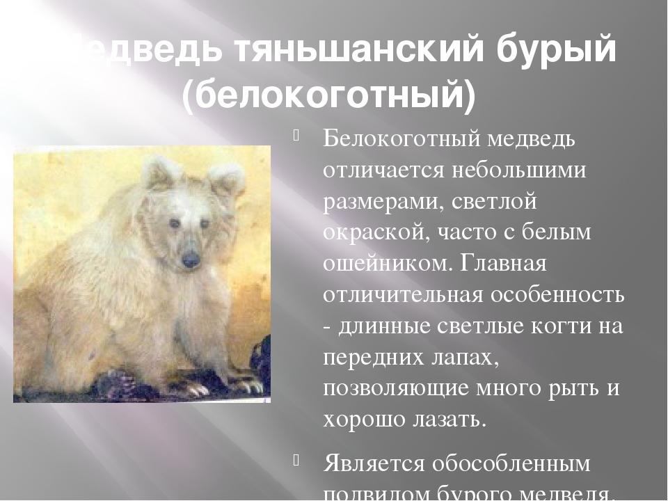 Медведь тяньшанский бурый (белокоготный) Белокоготный медведь отличается неб...