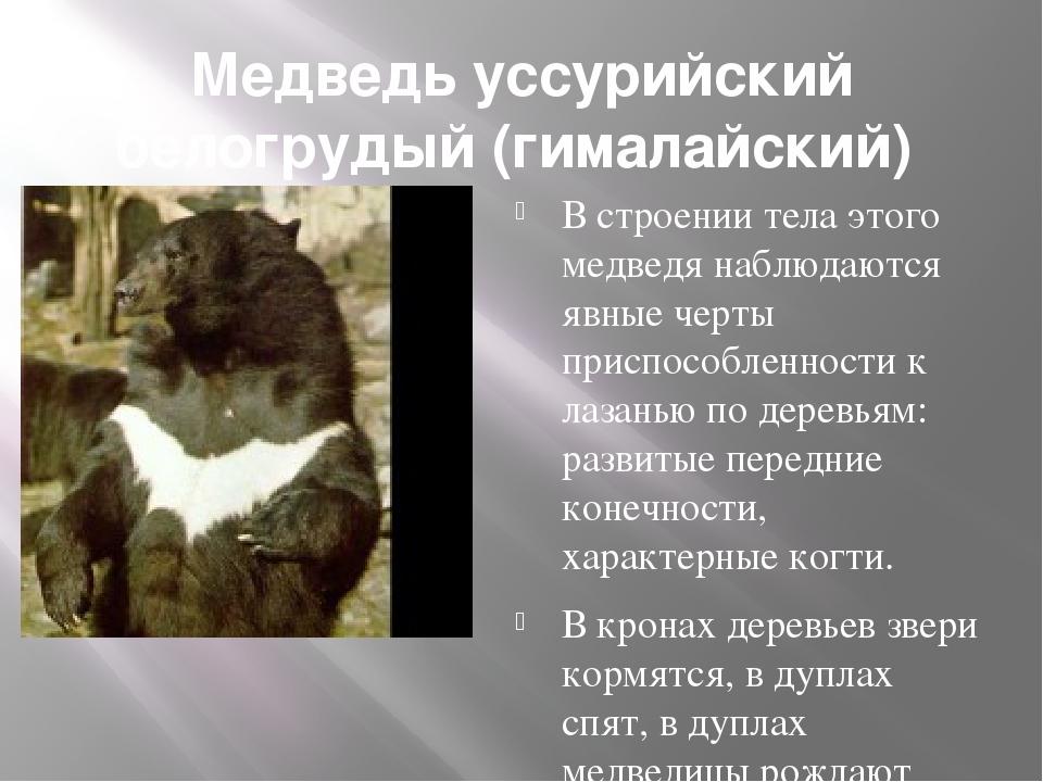 Медведь уссурийский белогрудый (гималайский) В строении тела этого медведя н...