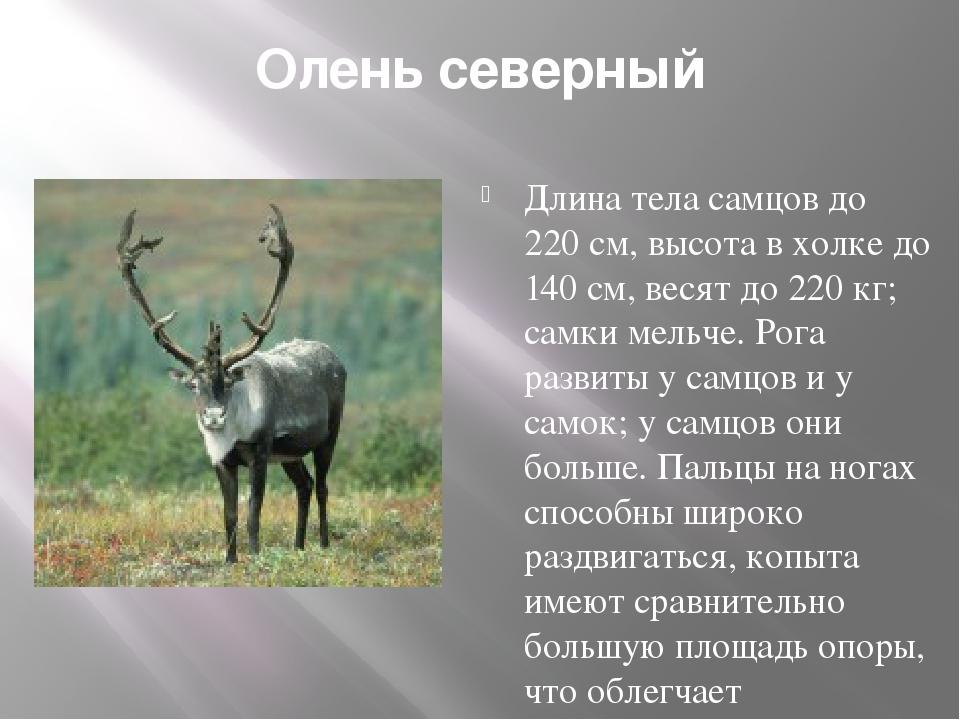 Олень северный Длина тела самцов до 220 см, высота в холке до 140 см, весят д...