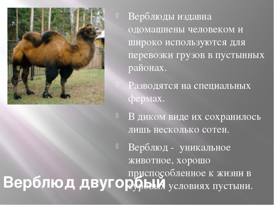 Верблюд двугорбый Верблюды издавна одомашнены человеком и широко используются...
