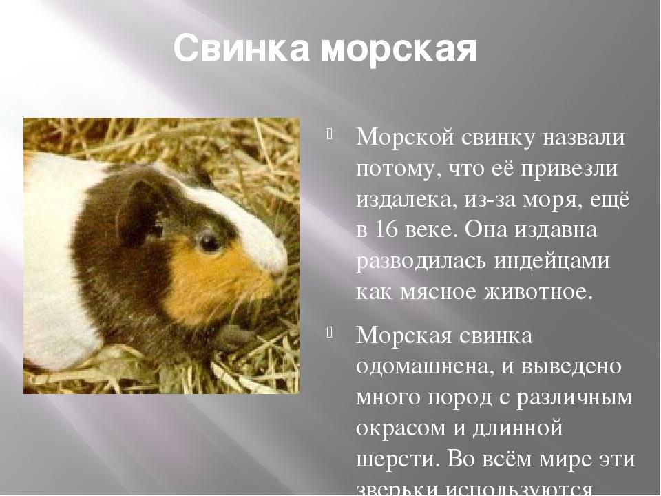 Свинка морская Морской свинку назвали потому, что её привезли издалека, из-з...