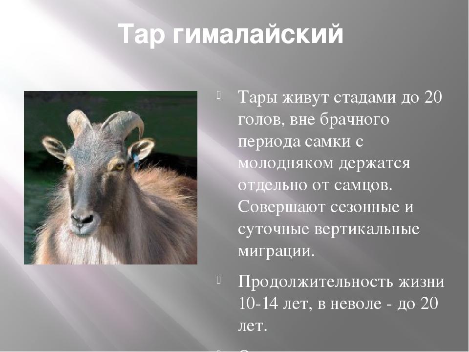 Тар гималайский Тары живут стадами до 20 голов, вне брачного периода самки с...