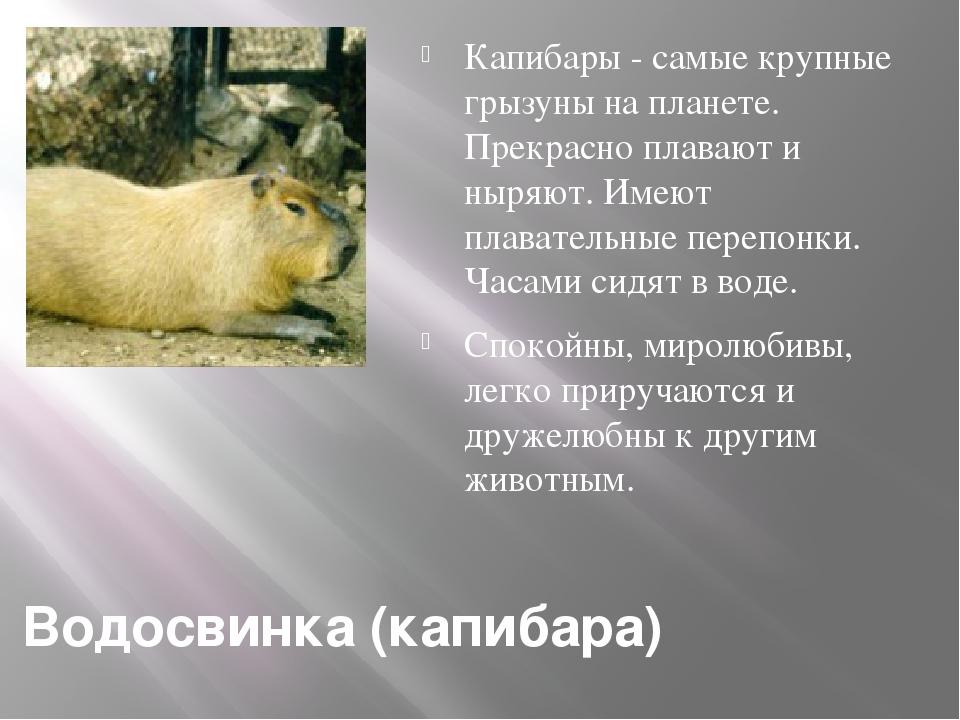 Водосвинка (капибара) Капибары - самые крупные грызуны на планете. Прекрасно...