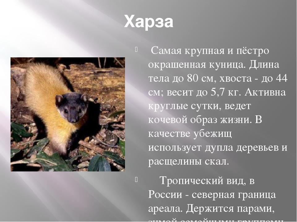 Харза Самая крупная и пёстро окрашенная куница. Длина тела до 80 см, хвоста...