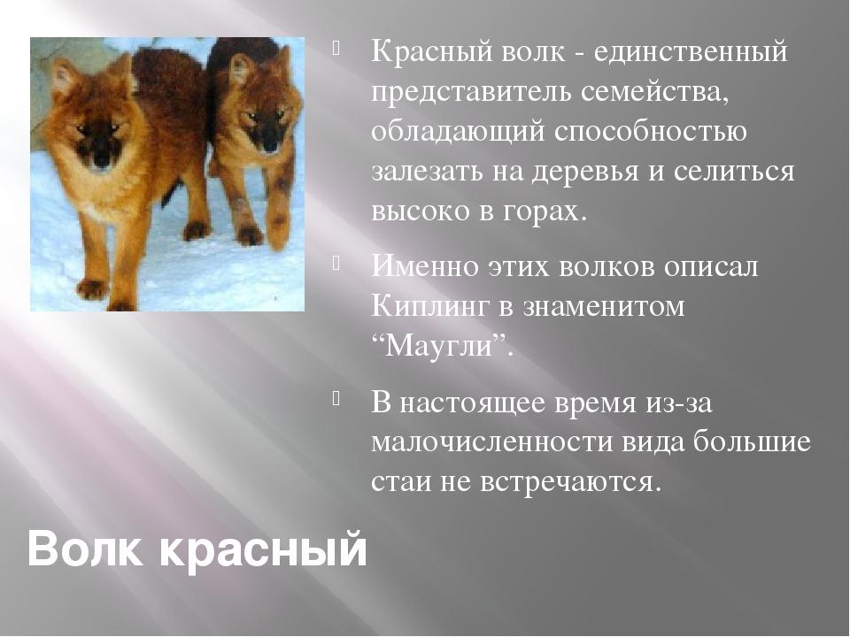 Волк красный Красный волк - единственный представитель семейства, обладающий...