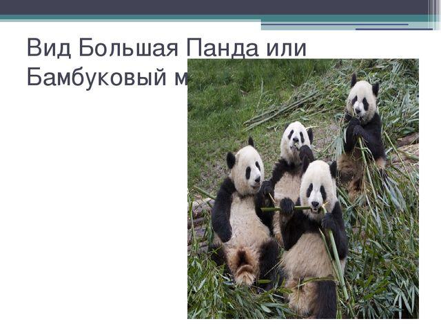 Вид Большая Панда или Бамбуковый медведь