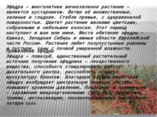 Эфедра– многолетнее вечнозеленое растение – является кустарником. Ветви её м