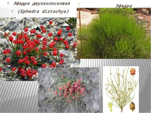 Ephedra distachya. Эфедра двухколосковая (Ephedra distachya) Эфедра хвощевая